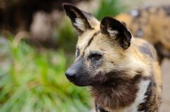Close Up Photography of African Wild Dog Stock Photo