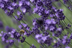 Close up photography of a bee swarming Lavender flower stock photo
