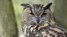 Close Up Photography of Black Grey Owl Royalty Free Stock Photo