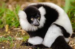 Close Up Photography of Black and White Lemur Stock Images