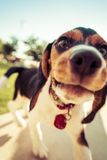 Close Up Photography of Black and White Short Coated Small Dog Stock Photography