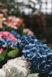 Close-Up Photography of Blue and White Hydrangea Flowers stock photography