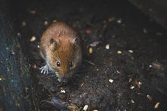 Close Up Photography of Brown Mouse Royalty Free Stock Images