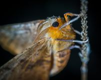 Close-Up Photography of Brown and Orange Moth Royalty Free Stock Image