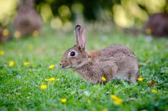 Close Up Photography of Brown Rabbit Royalty Free Stock Photo