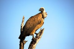 Close-Up Photography of Brown Vulture Stock Photography
