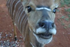 Close-Up Photography of Brown and White Striped Deer Royalty Free Stock Images