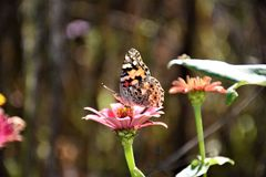 Close-up Photography of a Butterfly on top of the Pink Flower Royalty Free Stock Images