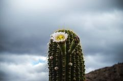 Close-up Photography of a Cactus Royalty Free Stock Image