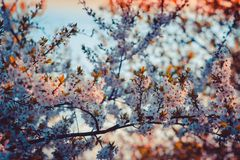 Close-up Photography of Cherry Blossom Royalty Free Stock Photos