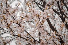 Close-Up Photography of Cherry Blossom Stock Images