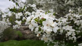 Close-UP Photography of Cherry Blossom Flowers Stock Image
