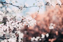 Close-up Photography of Cherry Blossoms Royalty Free Stock Photography