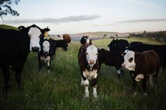 Close-up Photography of Cows Royalty Free Stock Photos