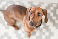 Close-up Photography of Dachshund Royalty Free Stock Photography