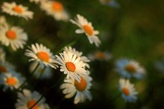 Close Up Photography of Daisies Royalty Free Stock Photos