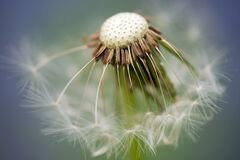 Close Up Photography of Dandelion Stock Image
