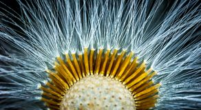 Close-up Photography of Dandelion Flower Stock Photo