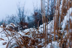 Close-Up Photography of Dry Grass Covered with Snow royalty free stock photo