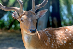 Close-up photography of fallow deer Royalty Free Stock Image