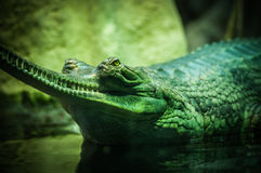 Close Up Photography of Green Gharial Royalty Free Stock Image