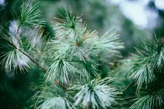 Close Up Photography of Green Pine Tree Royalty Free Stock Photos