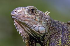 Head of a green iguana facing west stock images