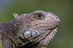 Close-up photography of the head of a green iguana stock images