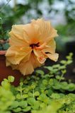 Hibiscus blossom. Close up photography of the hibiscus blossom in the greenhouse Stock Photography