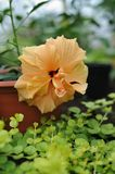 Hibiscus blossom. Close up photography of the hibiscus blossom in the greenhouse Stock Image