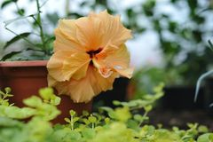 Hibiscus blossom. Close up photography of the hibiscus blossom in the greenhouse Stock Photo