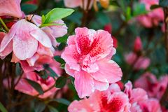 Close-Up Photography of Hibiscus Flowers Stock Images