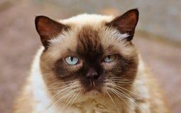 Close-up Photography of Himalayan Cat Royalty Free Stock Photography