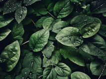 Close-Up Photography of Leaves With Droplets royalty free stock images