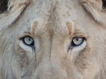 Close Up Photography of Lion's Face Royalty Free Stock Image
