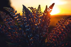 Close-up Photography of Lupines Royalty Free Stock Photography