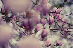 Close-up Photography of Magnolia Flowers Royalty Free Stock Image