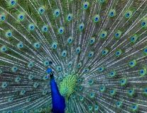 Colourful Male Peacock Displaying Feathers