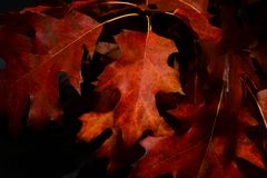 Close-Up Photography of Maple Leaves Royalty Free Stock Photos