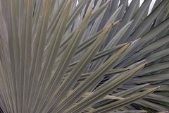 Mexican fan palm tree leaves royalty free stock photos