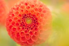Close-Up Photography of Orange Dahlia Flower royalty free stock photo
