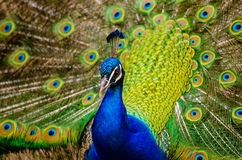 Close Up Photography of Peacock Stock Photography