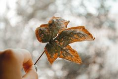 Close-Up Photography of Person Holding Autumn Leaf royalty free stock photography