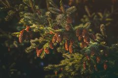 Close Up Photography of Pine Cones Stock Images