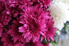 Close-up Photography of Pink Chrysanthemum Flowers Stock Photos