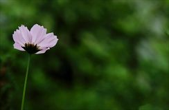 Close-up Photography of Pink Cosmos Flower Stock Image