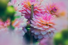 Close up Photography of Pink Dahlia Flowers stock photography