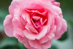 Close-Up Photography of Pink Flower Royalty Free Stock Photo