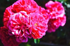 Close-up Photography Of Pink Petaled Flower Royalty Free Stock Image