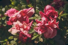 Close-up Photography of Pink Roses Stock Image